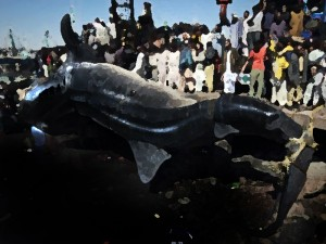 whale shark karachi pakistan